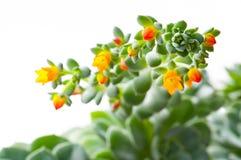 Close-up flowering succulent cactus. The close-up flowering succulent cactus Royalty Free Stock Photos