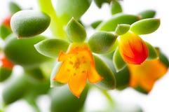 Close-up flowering succulent cactus. The close-up flowering succulent cactus Royalty Free Stock Photo