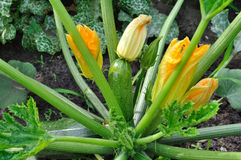 Close-up of flowering zucchini Royalty Free Stock Images