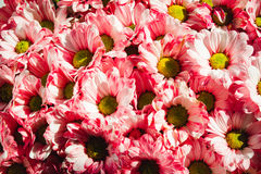 Close up Flowers background. Chrysanthemums bouquet. Mother`s and Womens Day. Pink color Royalty Free Stock Photography