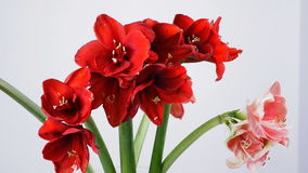 Close-up, Flowers, bouquet, rotation on white background, floral composition consists of Amaryllis white, pink , ferrari stock footage