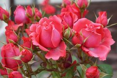 Close-up of flowers and buds of a pink rose variety. Close-up of of a complex of bright pink of inflorescence of rose varieties Caucasian with blooming flowers Stock Photos