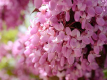 Close-up flowers of Cercis siliquastrum at Crimeas parks Royalty Free Stock Photo