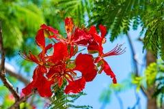 Clove or Syzygium aromaticum. Close-up of flowers of clove or Syzygium aromaticum stock images