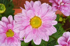 Close up of flowers colorful chrysanthemums Stock Photo