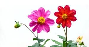 Compositae flowers Stock Photos