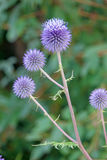 Echinops flowers. The close-up of flowers of Echinops. Scientific name: Echinops sphaerocephalus royalty free stock photography