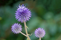 Echinops flowers. The close-up of flowers of Echinops. Scientific name: Echinops sphaerocephalus royalty free stock images