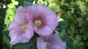 A close up of the flowers of mallow. Summertime Stock Photo