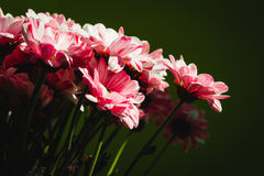 Close up Flowers nature. Green background. Chrysanthemums bouquet. Mother`s and Womens Day. Stock Photo