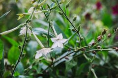 Close up on flowers of nicotiana alata Royalty Free Stock Image