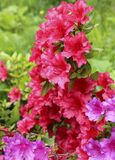 The flowers rhododendron azalea red. royalty free stock images