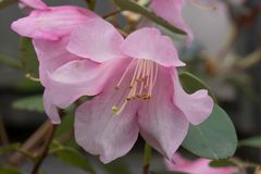 Close up on the flowers of Rhododendron williamsianum. Native to China and South Korea Stock Photos