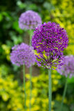 Close up of the flowers of some allium. Allium flowers blossoming in the garden stock photo