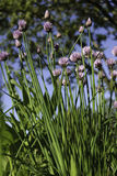 Close up of the flowers of some Chives stock photos