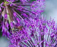 Close up of the flowers of some Chives. Fresh spring flowers in the garden stock photography