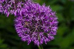 Close up of the flowers of some Chives. Fresh spring flowers in the garden stock images