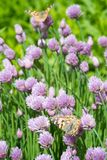 Chives and orange butterfly in the garden. Close up of the flowers of some Chives and orange butterfly in the garden. Allium schoenoprasum royalty free stock photography