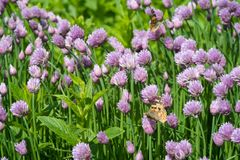 Chives and orange butterfly in the garden. Close up of the flowers of some Chives and orange butterfly in the garden. Allium schoenoprasum stock image