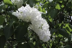 While lilac in full bloom. Close up of flowers. Spring sunshine, dark green leaves in the background royalty free stock photo