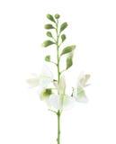 Close-up of flowers  Styphnolobium japonicum  isolated on white background. Close-up of flowers Styphnolobium japonicum isolated on white background Stock Photos