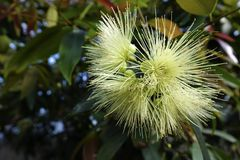 Filamentous flowers. The close-up of flowers of Syzygium jambos royalty free stock photos