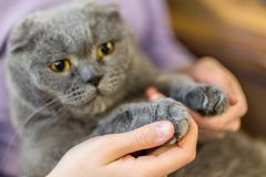 Close-up fluffy cat`s paw in human hands. Pets care and friendship. Prohibition of cats declawing surgery concept. Stop cruelty t. O animals royalty free stock photos