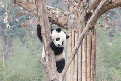 Funny Pose of Playful Panda,  , China royalty free stock image