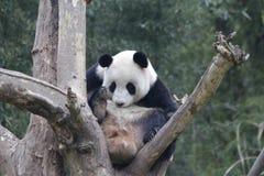 Funny Pose of Playful Panda,  , China royalty free stock photography