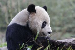 Funny Pose of Playful Panda, Wolong Panda Base , China royalty free stock image