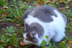 Close up of fluffy gray and white cat crouched in the grass on the ground and looks away stock photo