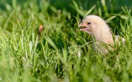 Close Up of Fluffy Yellow Chick in Long Grass. Close Up Side View of Young Fluffy Yellow Chick with Open Beak Outdoors in Long Green Grass Royalty Free Stock Photography