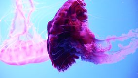 Close-up fluorescent pink jellyfish swimming on a blue background