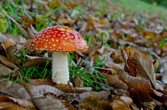 Close-up of fly agaric (Amanita muscaria) Royalty Free Stock Photo