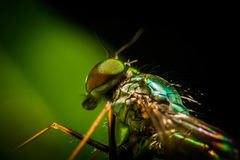Close-up of a fly Royalty Free Stock Photo