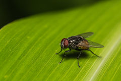 Close-up of fly on banana leaf. Photograph of fly sitting on a banana leaf Royalty Free Stock Image
