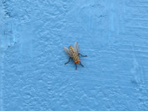 Close up of fly on blue wall. Close up of fly on blue cement wall Stock Photography