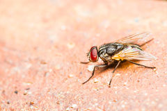 Close up of fly Royalty Free Stock Photos