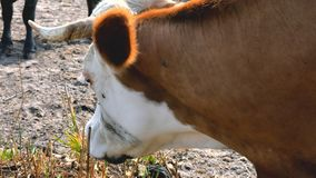 Close up of fly and bug are flying around eye cow. stock video footage