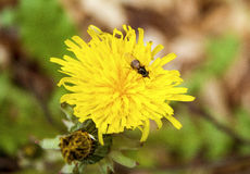 Close up of fly on dandelion Royalty Free Stock Image