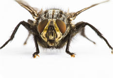 Close up of Fly  facing camera Royalty Free Stock Image