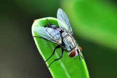 Close up of fly on green leaf.  Stock Photography