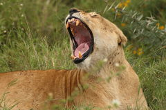 Close up of a fly infested lionness yawning in Ndutu Stock Image
