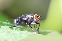 Close up of a fly Royalty Free Stock Photos