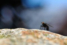 Close-up of a fly on a rock Royalty Free Stock Photo