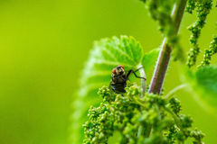 Close up of fly sitting on plant. Insect portrait in close up. Natural background Stock Photography