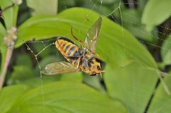 Fly in spider-web 2 Royalty Free Stock Images