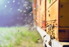 Bees flying around beehive. Beekeeping concept. Close up of flying bees. Wooden beehive and bees royalty free stock images