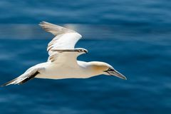 Close-up of a flying gannet close to the red cliffs of the isle of Helgoland royalty free stock photography