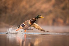 Close up flying Mallard. Anas platyrhynchos, nice bird in the nature habitat, with reflection in the water, action scene from nature, europe, czech republic Stock Photo